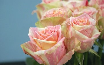 flowers, buds, macro, roses, petals, bouquet