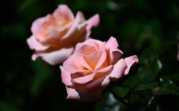 цветы, бутоны, макро, розы, лепестки