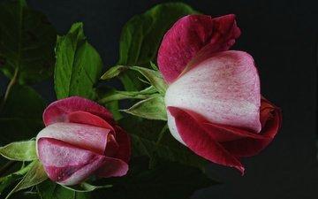 цветы, бутоны, листья, макро, розы, лепестки, черный фон