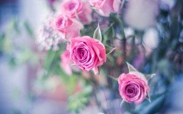 бутоны, розы, боке