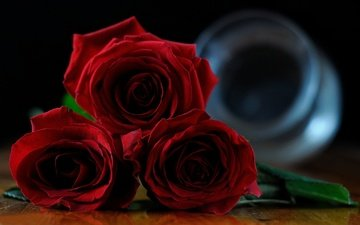 flowers, buds, roses, red roses