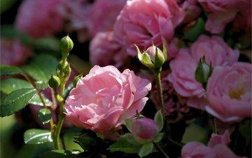 цветы, бутоны, розы, лепестки, розовый куст
