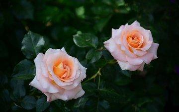 цветы, бутоны, листья, розы, лепестки