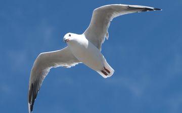 небо, полет, крылья, чайка, птица, клюв