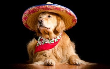 portrait, dog, black background, hat, shawl, golden retriever, sombrero