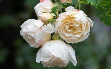 цветение, листья, роза, лепестки, бутон
