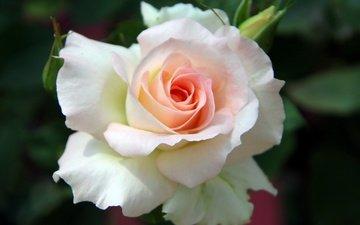 цветок, бутон