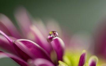 цветок, капля, лепестки, размытость