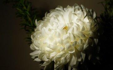 цветок, лепестки, бутон, темный фон, белая, хризантема
