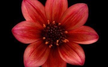 цветок, лепестки, черный фон, георгин