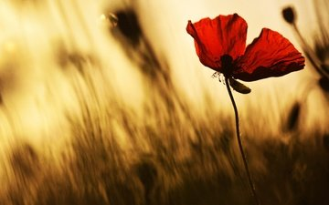light, flower, petals, red, blur, mac, silhouette, stems