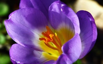 цветок, лепестки, весна, крокус