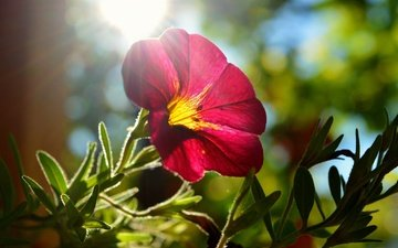 leaves, flower, petals, the sun's rays, mallow