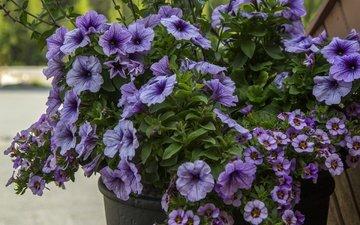 цветы, листья, лепестки, букет, петуния