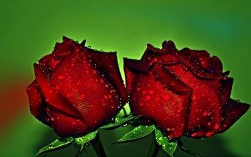 цветы, бутоны, макро, фон, капли, розы, красные, розы красные