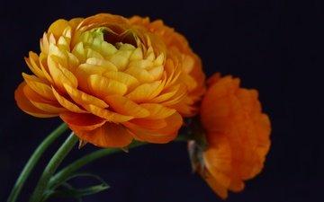 цветы, бутоны, макро, фон, лепестки, ранункулюс, лютик