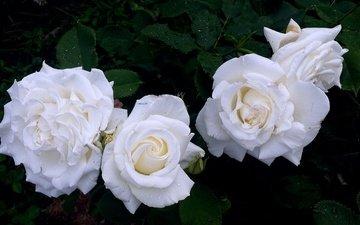 цветы, бутоны, розы, лепестки, сад, розы белые