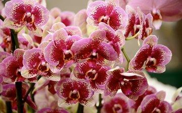 цветы, цветение, лепестки, орхидеи, фаленопсис