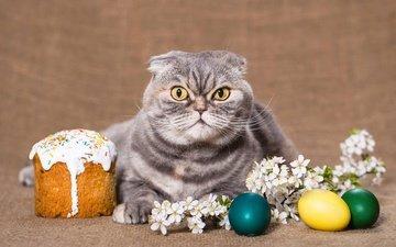 цветы, фон, кот, кошка, взгляд, весна, веточка, пасха, яйца, праздник, кулич, шотландская, вислоухая, шотландская вислоухая