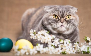 flowers, background, cat, look, spring, sprig, easter, eggs, holiday, scottish, fold, yellow eyes, scottish fold
