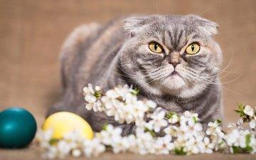 цветы, фон, кот, кошка, взгляд, весна, веточка, пасха, яйца, праздник, шотландская, вислоухая, желтые глаза, шотландская вислоухая
