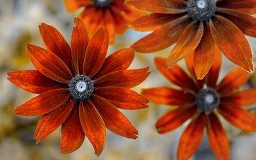 цветы, фон, рудбекия