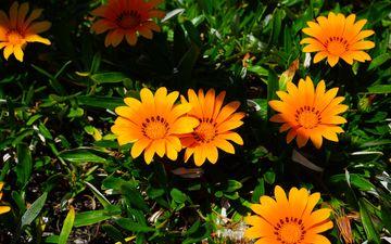 flowers, leaves, petals, gazania