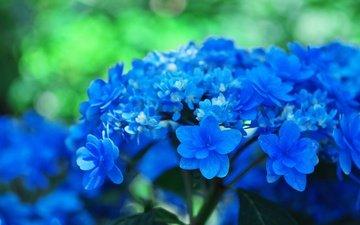 цветы, фон, голубые, соцветия, боке, гортензия