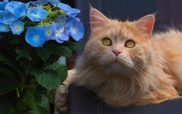 цветы, кот, мордочка, взгляд, рыжий кот, гортензия