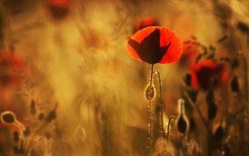 цветы, лепестки, красные, маки, размытость