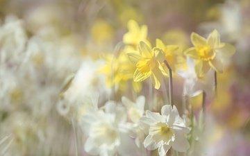 цветы, лето, размытость, нарциссы