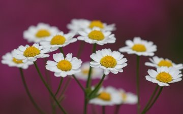 flowers, macro, background, petals, chamomile, stems