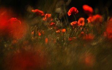 цветы, природа, красные, поляна, маки, размытость