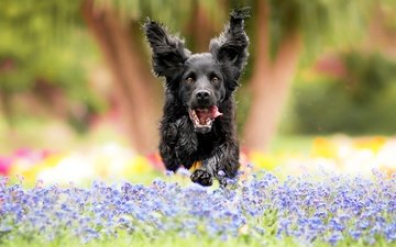 flowers, nature, dog, jump, glade, meadow, ears, language, running, spaniel