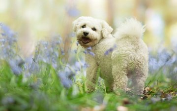flowers, grass, nature, forest, dog, puppy, language, white, ponytail, lapdog
