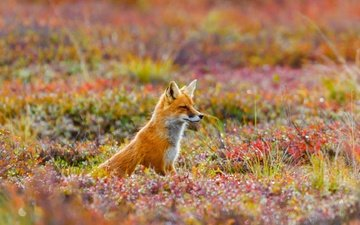 flowers, grass, nature, fox, usa, alaska