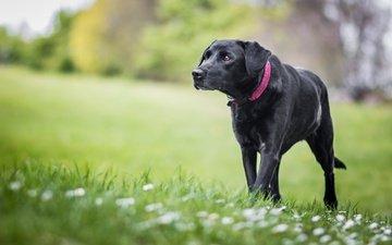 flowers, grass, nature, greens, background, dog, glade, lawn, labrador, retriever
