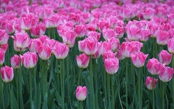 flowers, buds, spring, tulips, stems