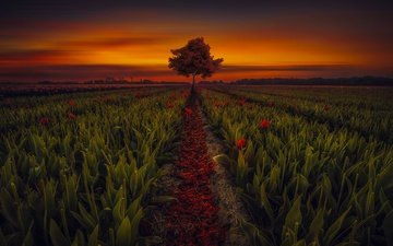 flowers, the evening, tree, sunset, field, horizon, tulips, hmetosche