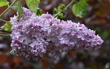 цветы, цветение, размытость, весна, сирень