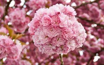 цветы, цветение, ветки, весна, вишня, сакура