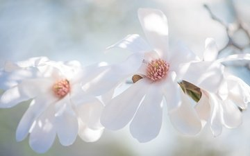 flowers, branch, flowering, buds, background, petals, spring, white, magnolia