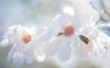 цветы, ветка, цветение, бутоны, фон, лепестки, весна, белые, магнолия