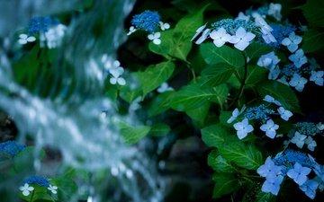 цветы, вода, листья, водопад, гортензия