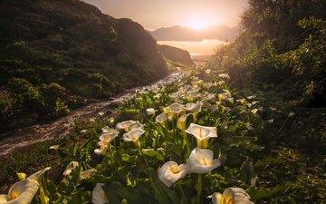 цветы, горы, природа, закат, ручей, сша, калифорния, каллы, биг-сур, garrapata state park, белокрыльник