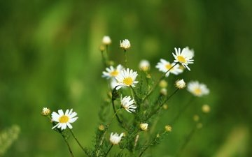 flowers, greens, background, summer, chamomile