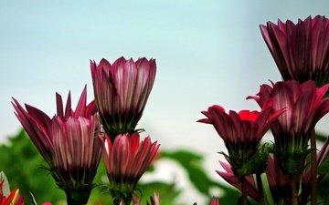 цветы, бутоны, лепестки, боке, остеоспермум