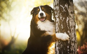 tree, paws, dog, birch, bernese mountain dog, chilli