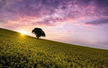 the sky, flowers, clouds, the sun, tree, morning, field, horizon, summer, rape