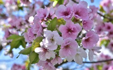 tree, flowering, spring